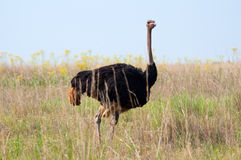 Male Ostrich. Stock Photo