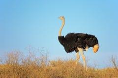 male ostrich Royaltyfria Foton