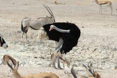 male ostrich Royaltyfri Fotografi