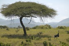 Male Ostrich approaching female for mating near Acacia Tree in Lewa Conservancy, Kenya, Africa Stock Image