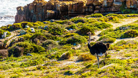 Male Ostrich in Cape Point Nature Reserve. On the Cape Peninsula in South Africa Stock Images