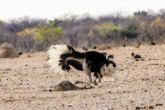 Male ostrich courtship dance Stock Photo