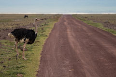 A male ostrich crossing the road Stock Photo