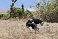 Male Ostrich displaying mating ritual Stock Photo