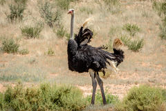 Male Ostrich displaying in the sand. Male Ostrich displaying in the sand in the Kalagadi Transfrontier Park, South Africa Royalty Free Stock Photo