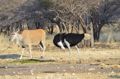 A male ostrich and an eland antelope Stock Image