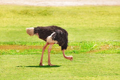 Male ostrich feeding on grassland of Africa Royalty Free Stock Photo