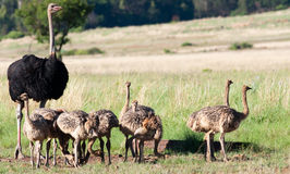Male Ostrich and lots of chicks Royalty Free Stock Photography
