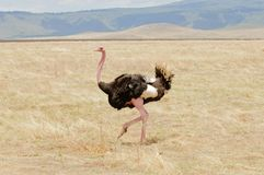 Male ostrich in the Ngorongoro Stock Images