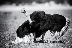 Male Ostrich performing courtship dance on short grass artistic conversion. Male Ostrich performing a courtship dance on short grass artistic conversion royalty free stock photography