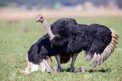 Male Ostrich performing a courtship dance on short grass. Male Ostrich performing a courtship dance on short greem grass stock photos