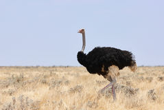 Male ostrich photographed in Namibia Stock Image
