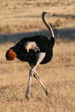 Male Ostrich running Royalty Free Stock Images