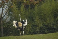 Male ostrich running royalty free stock image