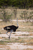 Male Ostrich Running through Savannah in Etosha National Park, Namibia Stock Photo