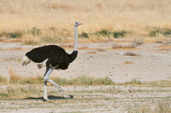 Male ostrich in the savannah. Male ostrich walking in the savanna of Etosha Royalty Free Stock Images