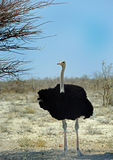 A Male Ostrich standing under a tree with brilliant blue sky. A male ostrich stands in the dry dusty desert in Etosha royalty free stock image