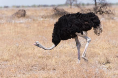 Male Ostrich. Struthio camelus in grassland, male with red shins to attract female mate, Etosha National Park, Namibia stock image