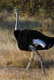 Male Ostrich (Struthio camelus) - Namibia Royalty Free Stock Photos
