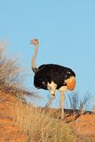 Male ostrich Royalty Free Stock Image
