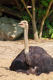 Male ostrich, Struthio camelus Royalty Free Stock Image
