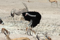 Male Ostrich Royalty Free Stock Photography