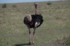 Male Ostrich. Struts his stuff attracting mates Stock Photo