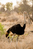 Male Ostrich. A male ostrich strutting his stuff Royalty Free Stock Image