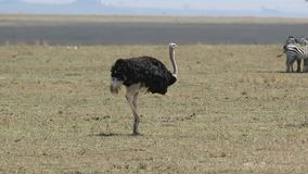Male ostrich walking with a hot day over a dry savannah and eating stock video footage