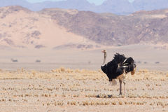 Male ostrich walking in the Namib desert Royalty Free Stock Images