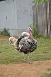 Male Outdoor Day Turkey Stand Royalty Free Stock Photo
