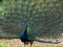 male påfågel Arkivbild