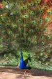 male påfågel Arkivfoto