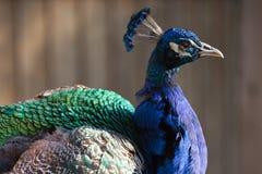 Male påfågel i solljuset Arkivbilder