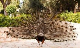 Male påfågel på att visa fjädrar royaltyfri foto