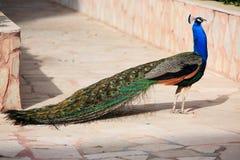 Male påfågel på att visa fjädrar royaltyfri fotografi
