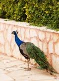 Male påfågel på att visa fjädrar royaltyfri bild