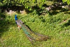 Male påfågel på att visa fjädrar fotografering för bildbyråer