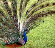 Male påfågelskärm Arkivbild