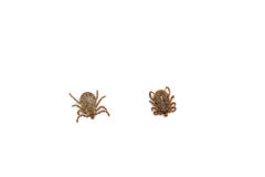Male Pacific Coast Tick Stock Photo