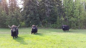 Male Pack Yaks Stock Photo