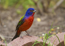 Male painted bunting Stock Images