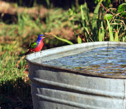 A male painted bunting getting water Royalty Free Stock Images