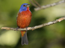 Male Painted Bunting Stock Photography