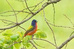 Male Painted Bunting with his amazingly colored plumage Stock Images
