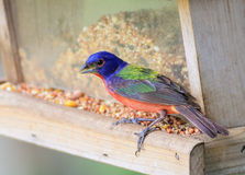 Male Painted Bunting - Passerina ciris Stock Photography