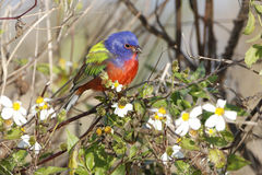 Male Painted Bunting in Spring Royalty Free Stock Photo