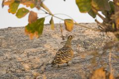 Male Painted Sandgrouse in the Shade. Walking up a granite hill under the shade of some leaves is a beautiful male Painted Sandgrouse with brown and white royalty free stock image