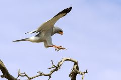 Male Pale Chanting Goshawk jumping in a tree against blue Kalahari sky royalty free stock image