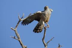 Male Pale Chanting Goshawk jumping in a tree against blue Kalahari sky stock image